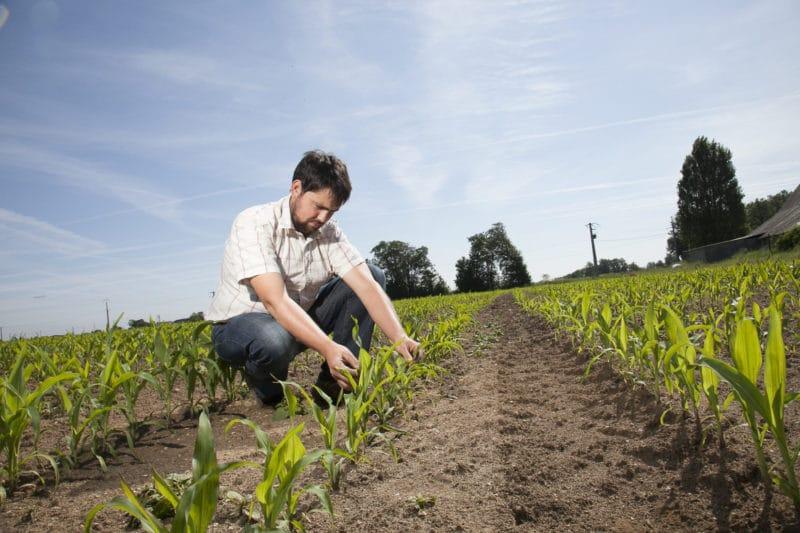 Agriculteur observant l'évolution physiologique du maïs