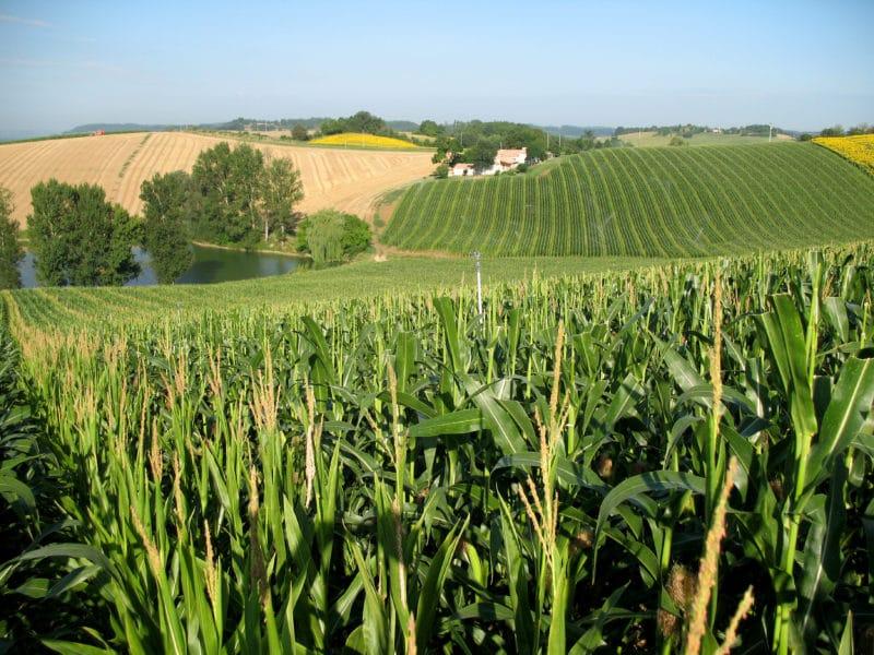 Parcelle maïs semences