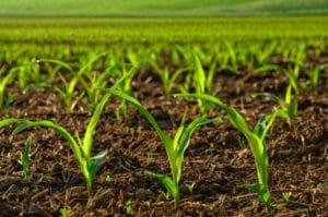 Vigueur de départ et précocité du maïs