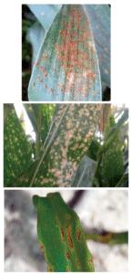 rouille, kabatiellose, anthracnose sur maïs