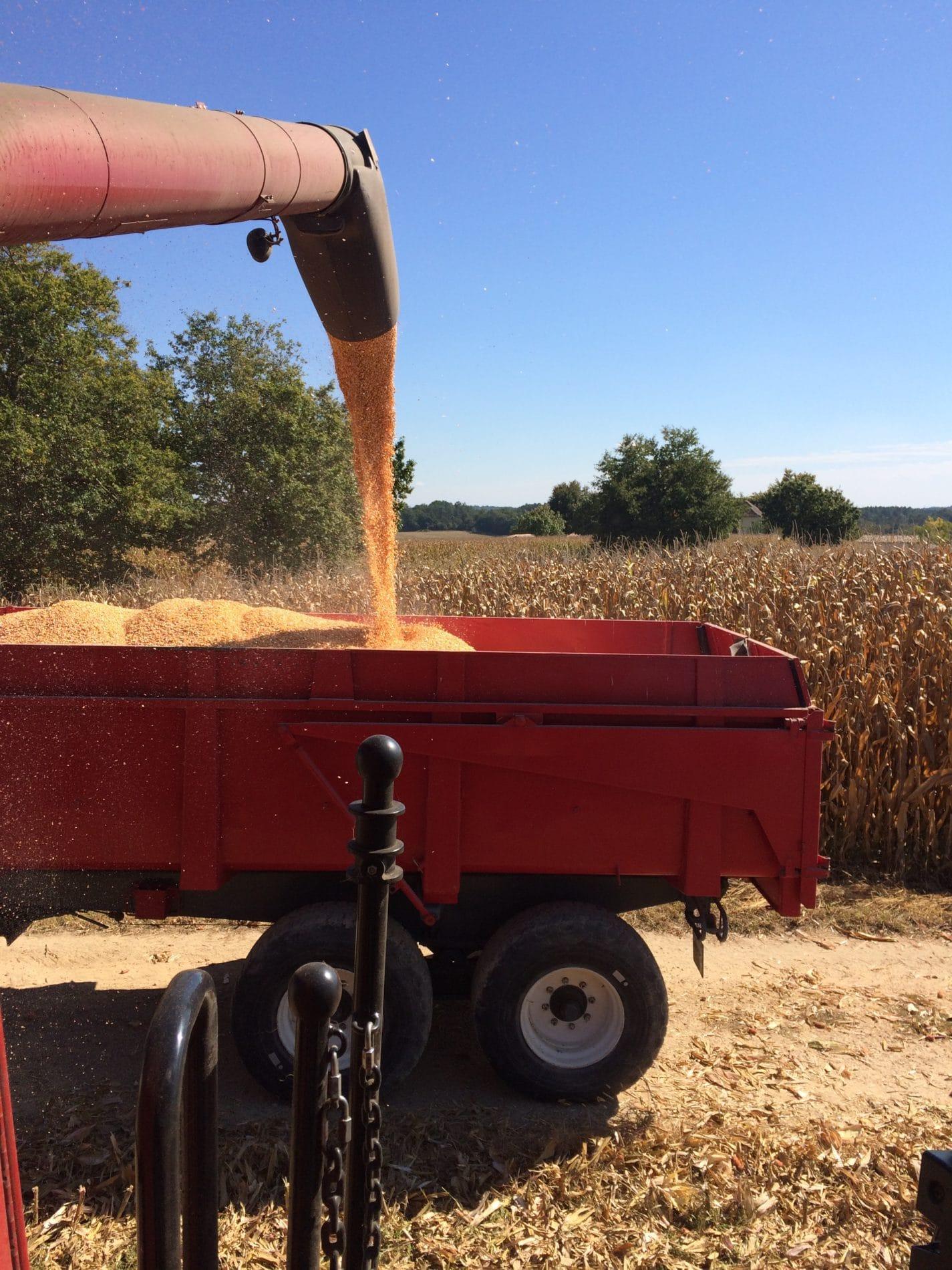 Chargement remorque maïs grain