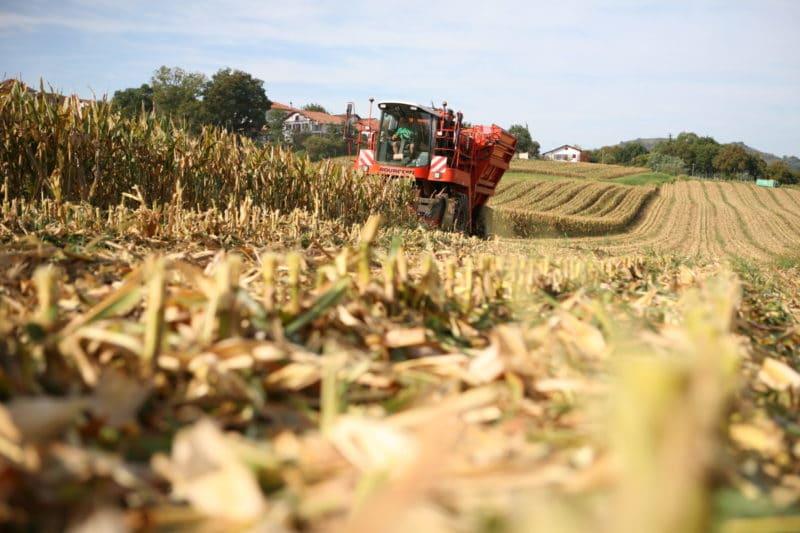 Récolte maïs semence