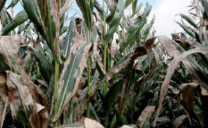Helminthosporiose champ de maïs