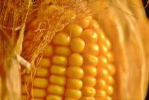 Ausbildung der Glaslinse (Sorten von Zahn- und Hartmais) • Ausbildung der Delle oben auf dem Korn (Zahnmaissorten).
